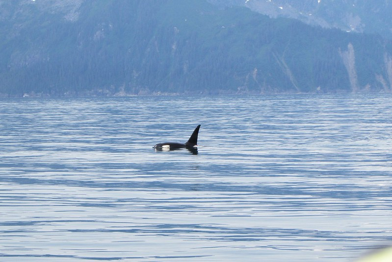 The Orcas I can identify and tell apart from the other - related or unrelated - species!