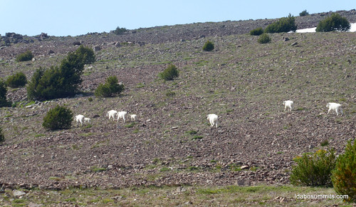 Goats on the south face of Iron Bog Peak