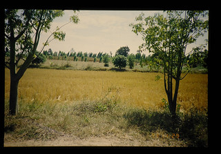 Rainfed Paddy After Harvest = 稲刈り後の水田