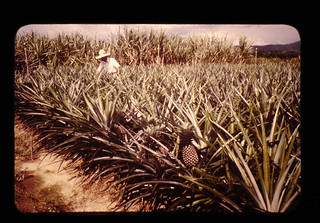パイナップルの品種の収集、保存(圃場)