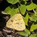 Cloudless Sulphur B317052focPr por jvpowell