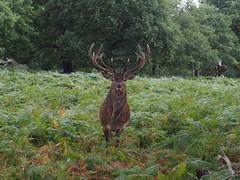 P9060161 Red deer stag