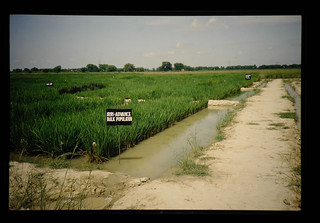 Gudha Enp Farm Of Cssri, India = 土壌塩類研究所の現地試験圃場