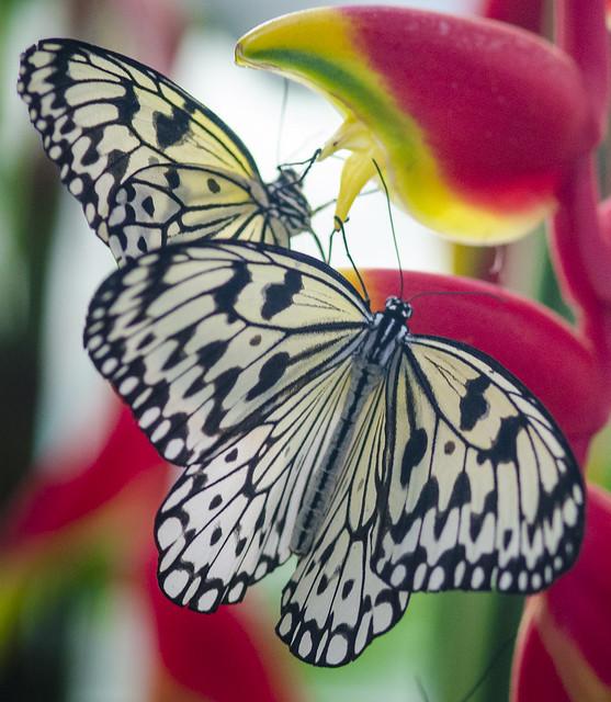 Butterfly II, Nikon D7000, AF Micro-Nikkor 105mm f/2.8