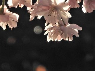 かわいい妖精たち 桜編02