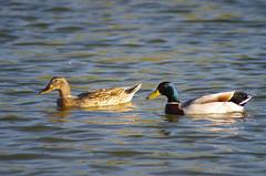 ducks having good times