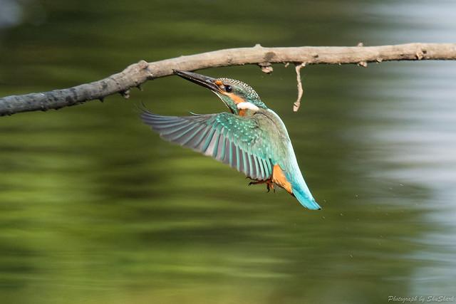 20170910-kingfisher-DSC_2588