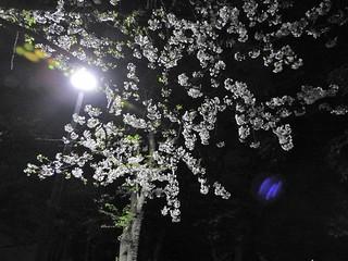 千葉公園お花見広場 夜桜03