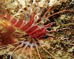 macro lionfish