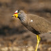 Small photo of African Wattled Lapwing (Vanellus senegallus)
