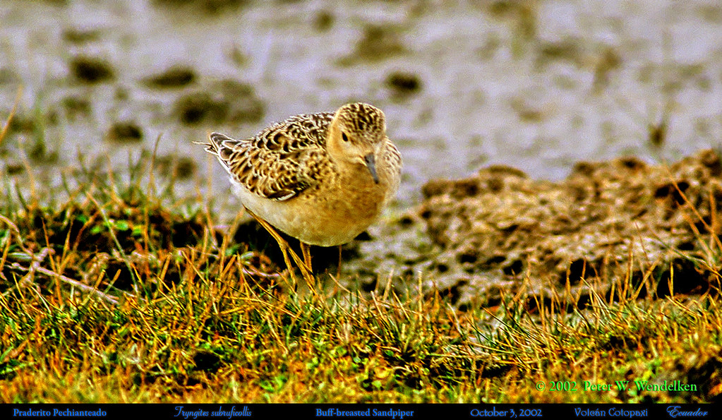 BUFF-BREASTED SANDPIPER Tryngites subruficollis at Volcán Cotopaxi in Northern Ecuador. 2002 Photo by Peter Wendelken.