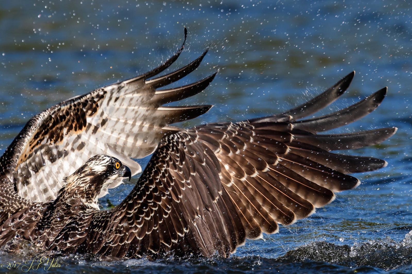 Osprey fishing Too Close!