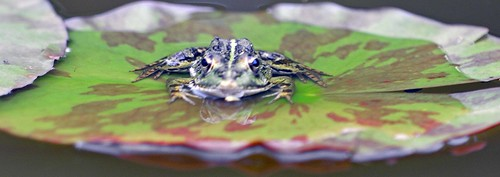 Frog On A Lily.jpg