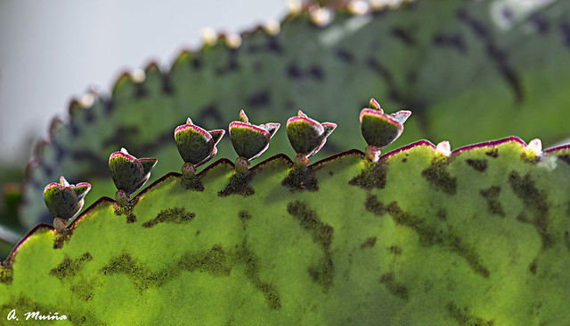 Cactus leaf, whim of nature. Hoja de cactus, capricho de la naturaleza