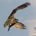Osprey with bass