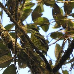 Scaled Fruiteater (Ampelioides tschudii)