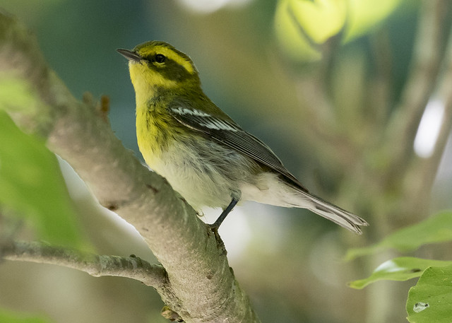 Townsend's Warbler, Canon EOS-1D X MARK II, Canon EF 100-400mm f/4.5-5.6L IS II USM + 1.4x