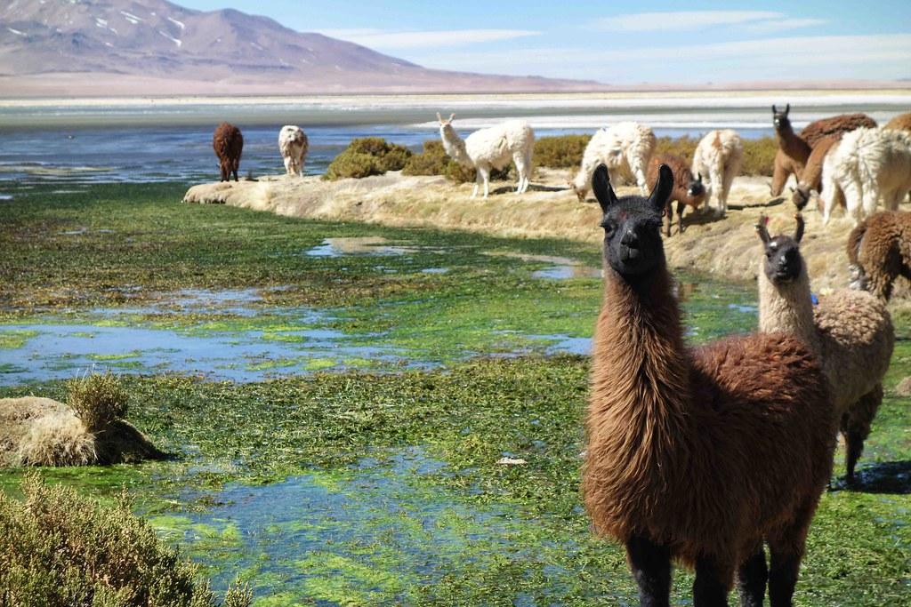 San Pedro Atacama - Salar de Tara - Lama 3