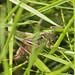 Bog Bush Cricket - Metrioptera brachyptera