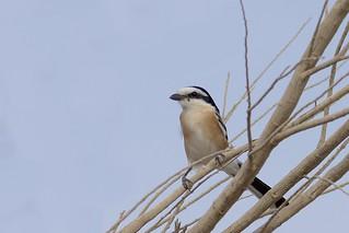 Masked Shrike (Lanius nubicus), Masada, Israel