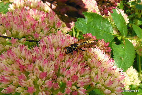 Wasp on Sedum telephium