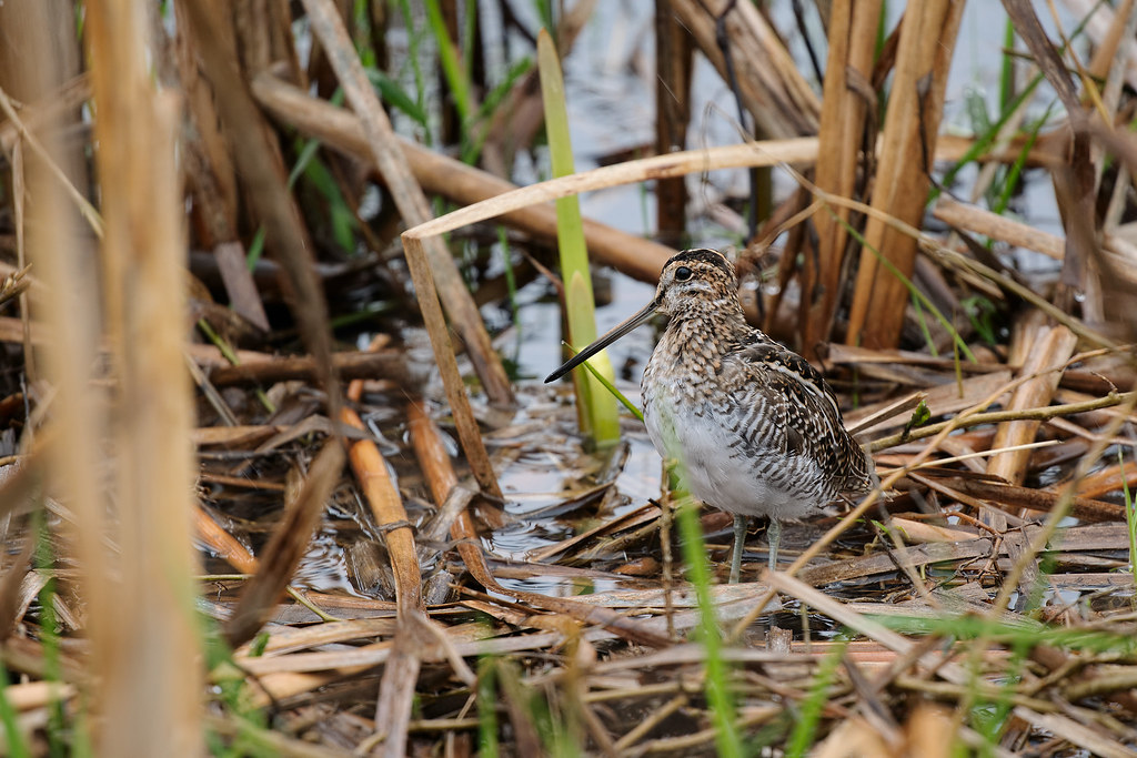 A Wilson's snipe stands at the edge of the marsh