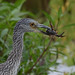 Small photo of Juvenille Yellow-Crowned Night Heron
