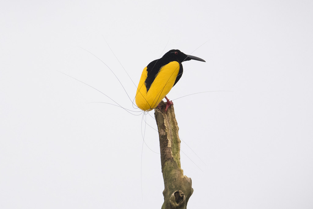 Flickr photos of twelve-wired bird-of-paradise   Picssr
