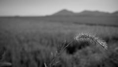 Rice fields (b&w)