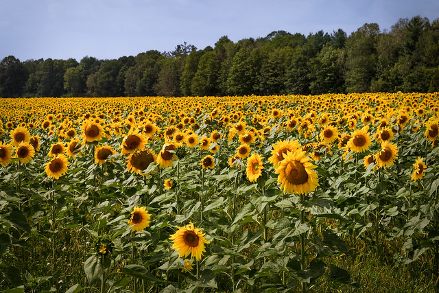 Sunflowers 5: The Field, Canon EOS 6D, Canon EF 24-105mm f/4L IS