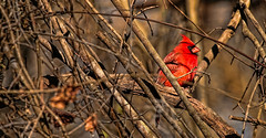 A Cardinal from my yard. (Long time ago in Spring Hill)