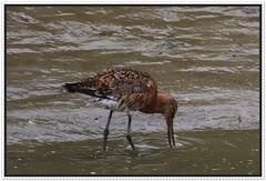 Black-tailed godwit - breeding plumage