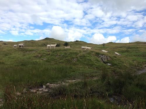 Sheep on School Knott, Windermere