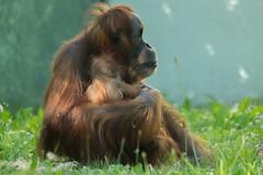 Orang-Utan Matra mit ihrem Nachwuchs
