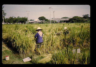 Line Selection Of Floating Rice = 系統選抜