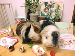 Our kawaii guinea pigs :sparkling_heart: the Cath Kidston collection!!! :hamster::gift_heart: