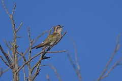 Horsfield's Bronze - Cuckoo