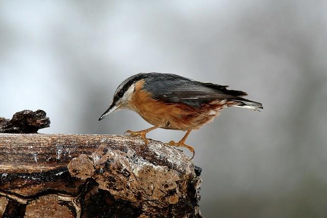 Sitta europaea, la sittelle torchepot, the wood nuthatch.