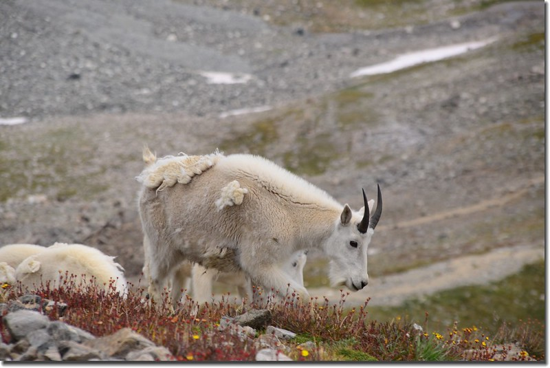 Mountain Goat (3)