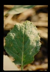 キャベツの菌類病