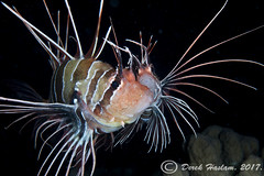 White-Lined Lionfish getting ready to spawn. Shaab Mahmoud. Night dive.01.