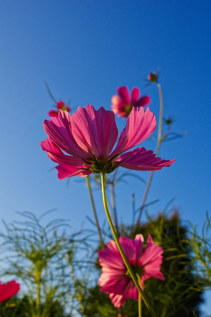 cosmos and blue sky, RICOH PENTAX K-3, smc PENTAX-F 28mm F2.8