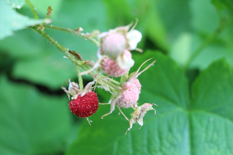 A ripe thimbleberry just asking to be eaten
