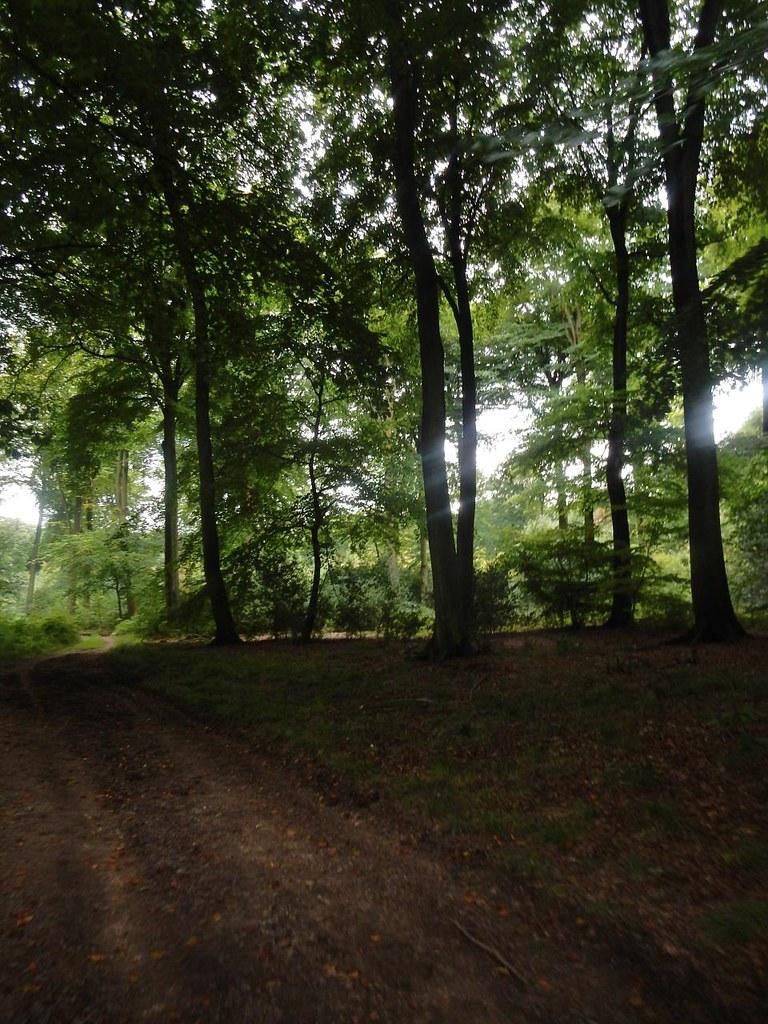Trees in a wood Wendover Circular via Swan Bottom