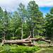 Tronc d'arbre mort dans la forêt d'Akfadou