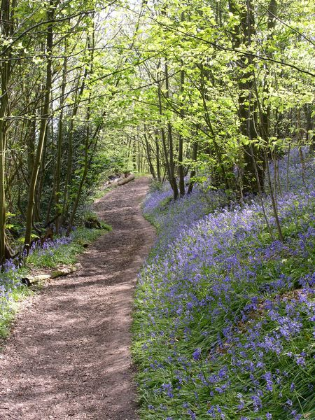 Bluebell Wood on Ide Hill