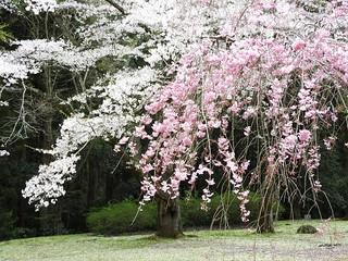 泉自然公園 17 枝垂れ桜