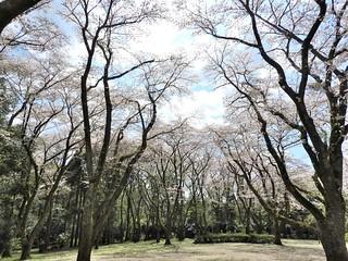 泉自然公園 20 桜の園