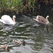 Swan & cygnet on the Ouse (2)