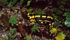 Fire Salamanders (Salamandra salamandra) mating ...